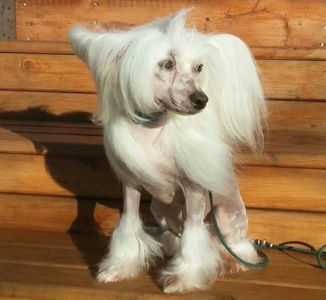 Nyemah, Chinese Crested Dog